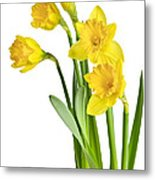 Spring Yellow Daffodils Metal Print