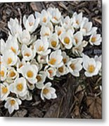 Springtime Abundance - A Bouquet Of Pure White Crocuses Metal Print