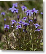 Springtime Tiny Bluet Wildflowers - Houstonia Pusilla Metal Print