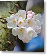 Sprouting Cherry Blossoms Metal Print