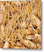 Sprouting Russian Banana Fingerling Seed Potatoes Metal Print