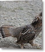 Spruce Grouse Metal Print