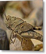 Spur-throated Grasshopper Metal Print