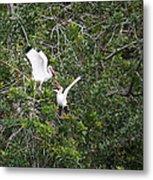 Squabbling Birds Metal Print