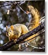 Squirrel 1 Metal Print