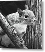Squirrel Black And White Metal Print