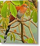 Squirrel Cuckoo In Costa Rica Metal Print