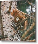 Squirrel In A Tree Metal Print