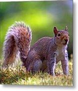 Squirrel On Grass Metal Print