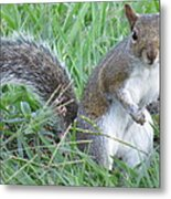 Squirrel On The Grass Metal Print