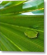 Squirrel Tree Frog Metal Print