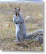 Squirrel With Dirt On Nose Metal Print