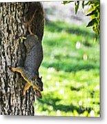 Squirrel With Pecan Metal Print