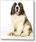 St Bernard Dog Metal Print