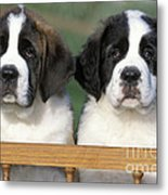 St. Bernard Puppies Metal Print