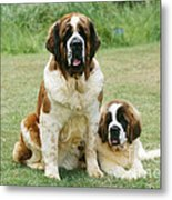 St Bernard With Puppy Metal Print