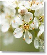 St Lucie Cherry Blossom Metal Print