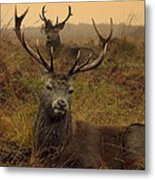 Williams Fine Art Stag Party The Series  Metal Print
