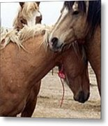 Stallions Held Captive Stick Together In Tough Times Metal Print