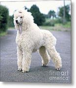 Standard Poodle Dog, Unclipped Metal Print