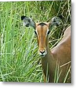 Standing In The Grass Impala Antelope  Metal Print