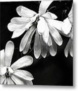 Star Magnolia In Black And White Metal Print