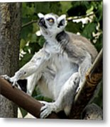 Lemur Stare Metal Print