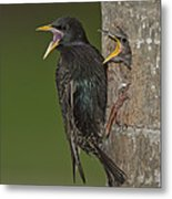 Starling And Young Metal Print