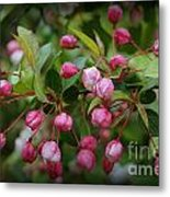Apple Blossoms During A Rain Shower Metal Print