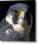 Steely Stare Metal Print