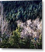 Steller's Jay Near Greyrock Mountain Colorado Metal Print by Ric Soulen