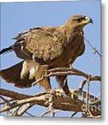 Steppe Eagle Aquila Nipalensis 2 Metal Print