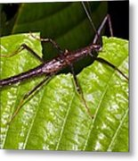 Stick Insect Feeding On A Leaf Metal Print by Science Photo Library