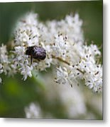 Stiff Dogwood Wildflowers And Beetle Metal Print