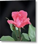 Still Life Portrait Of A Rose Metal Print