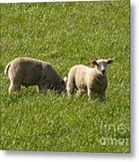 Stirling Sheep Metal Print