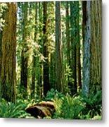 Stout Grove Coastal Redwoods Metal Print