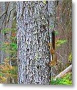 Straight Tail Squirrel Metal Print