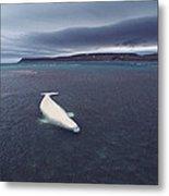 Stranded Beluga Whale Awaiting Incoming Metal Print