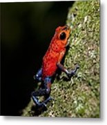 Strawberry Poison Frog Metal Print