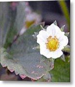 Strawberrys Flower Metal Print