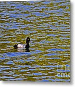 Striking Scaup Metal Print