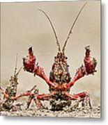Striped Crayfish  Metal Print