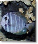 Striped Fish Metal Print