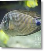 Striped Tropical Fish Desjardini Tang Metal Print
