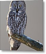 Strix Nebulosa Metal Print by Mircea Costina Photography