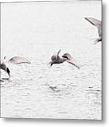 Stroboscopic Study Of Flying Arctic Tern Over Lake Metal Print