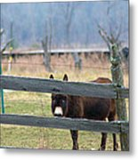 Stubborn As A Mule Metal Print by Rhonda Humphreys