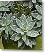Succulent Rose In Moss Green Pot Metal Print