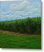 Sugar Cane Fields Metal Print